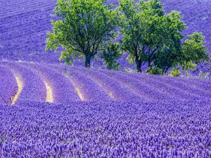 France, Provence, Lavender Field on the Valensole Plateau by Terry Eggers