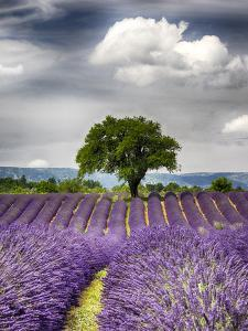 France, Provence, Lone Tree in Lavender Field by Terry Eggers