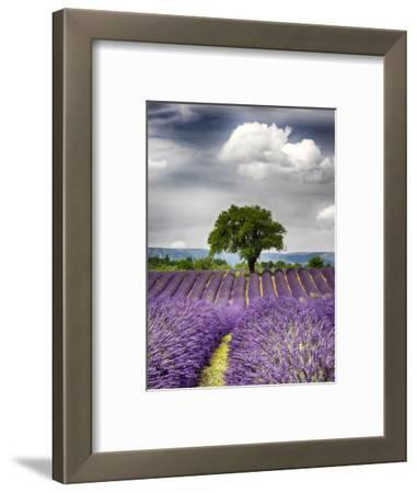 France, Provence, Lone Tree in Lavender Field