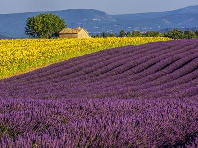 France, Provence, Old Farm House in Field of Lavender and Sunflowers