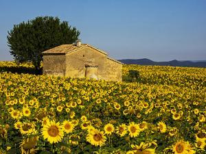 France, Provence, Old Farm House in Field of Sunflowers by Terry Eggers