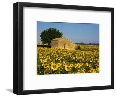 France, Provence, Old Farm House in Field of Sunflowers