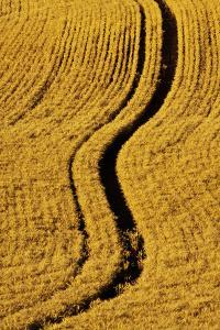 Golden Harvest Wheat, Palouse Country, Washington, USA by Terry Eggers