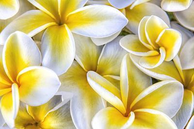 Hawaii, Maui, Plumeria in Mass Display