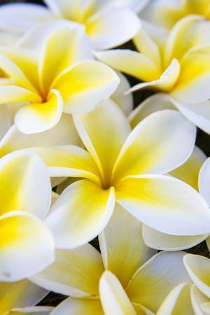 Hawaii, Maui, Plumeria in Mass Display