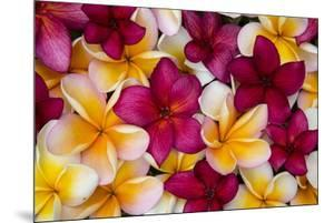 Hawaii, Maui, Plumeria in Mass Display by Terry Eggers