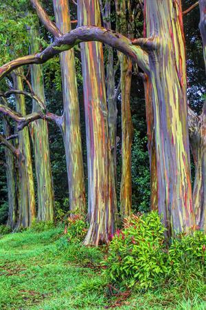Hawaii, Maui, Rainbow Eucalyptus Trees