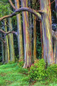 Hawaii, Maui, Rainbow Eucalyptus Trees by Terry Eggers