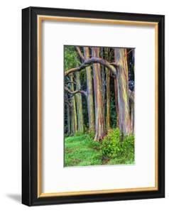 Hawaii, Maui, Rainbow Eucalyptus Trees by Terry Eggers