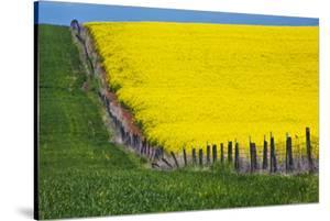 Idaho, Grangeville, Canola Field in Full Fresh Bloom Along Fence by Terry Eggers