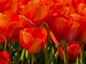 Netherlands, Nord Holland, Red Tulips in Mass by Terry Eggers