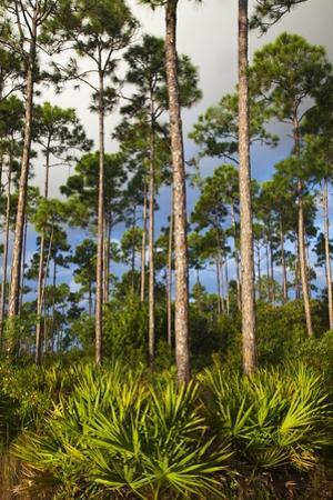 Pine Forest in Long Pine Area of Everglades NP by Terry Eggers