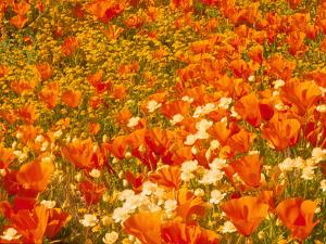 Poppies and Cream Cups, Antelope Valley, California, USA by Terry Eggers