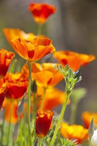 Poppies in Full Bloom, Seattle, Washington, USA by Terry Eggers