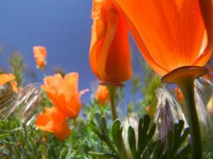 Poppies in Spring Bloom, Lancaster, California, USA by Terry Eggers