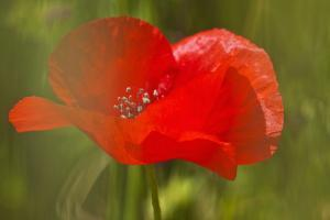 Poppy Flower in Spring Bloom, Tuscany, Italy by Terry Eggers