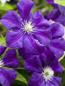 Purple Clematis in Full Bloom by Terry Eggers