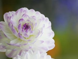 Purple Edged White Dahlia in Full Bloom by Terry Eggers