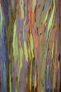Rainbow Eucalyptus Trees (Eucalyptus Deglupta) by Terry Eggers