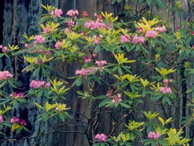 Redwood Trees and Rhodies in Bloom, Redwoods National Park, California, USA