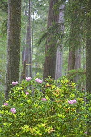Redwood Trees and Rhododendrons in Forest