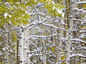 Snow Covered Aspens and Firs, Maroon Bells, Colorado, USA by Terry Eggers