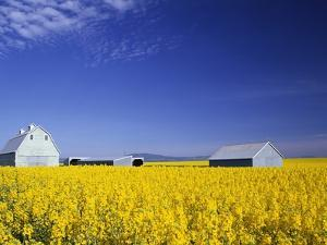 Spring Canola Crop by Terry Eggers