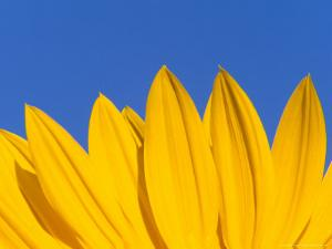 Sunflower in Blue Sky, Seattle, Washington, USA by Terry Eggers