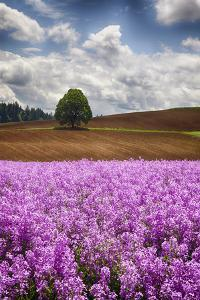 USA, Oregon, Farming in the Willamette Valley of Oregon with Dames Rocket Plants in Full Bloom by Terry Eggers