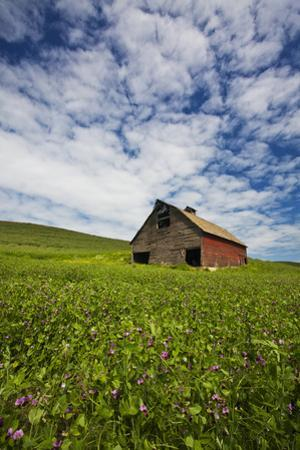 USA, Washington, Palouse. Old, Red Barn in Field of Chickpeas (Pr) by Terry Eggers