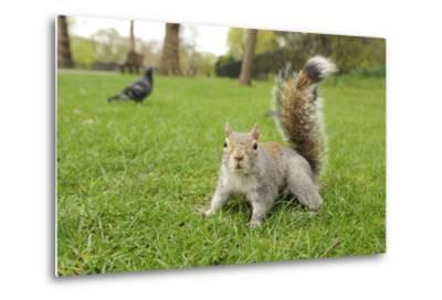 Grey Squirrel (Sciurus Carolinensis) on Grass in Parkland, Regent's Park, London, UK, April 2011