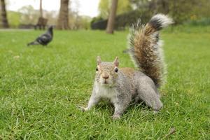 Grey Squirrel (Sciurus Carolinensis) on Grass in Parkland, Regent's Park, London, UK, April 2011 by Terry Whittaker