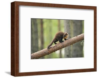 Pine Marten (Martes Martes) 4-5 Month Kit Walking Along Branch in Caledonian Forest, Scotland, UK