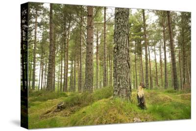 Pine Marten (Martes Martes) Adult Female in Caledonian Forest, the Black Isle, Scotland, UK