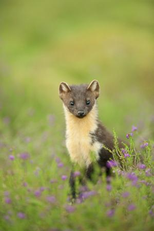 Pine Marten (Martes Martes) Female Portrait in Caledonian Forest, Highlands, Scotland, UK by Terry Whittaker