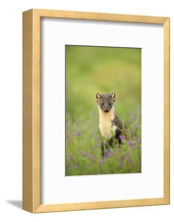 Pine Marten (Martes Martes) Female Portrait in Caledonian Forest, Highlands, Scotland, UK