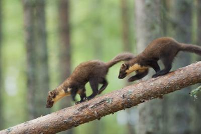 Pine Marten (Martes Martes) Two 4 Month Kits Running Along Branch, Caledonian Forest, Scotland, UK