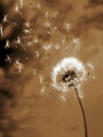 Dandelion Seed Blowing Away
