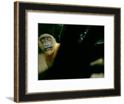 Tethered on a Rope, a Mandrill Reaches for the Camera-Michael Nichols-Framed Photographic Print
