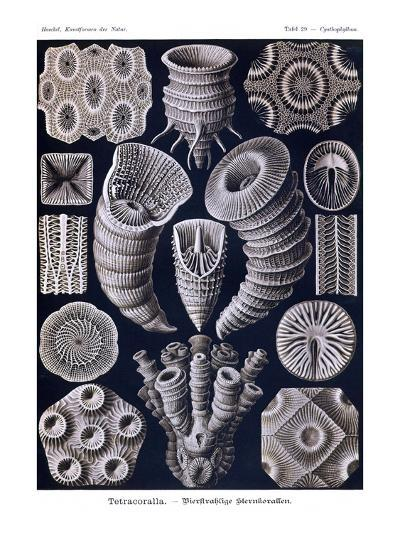 Tetracoralla - Coral-Ernst Haeckel-Art Print