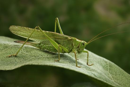 Tettigonia Viridissima (Great Green Bush-Cricket) - Female-Paul Starosta-Photographic Print