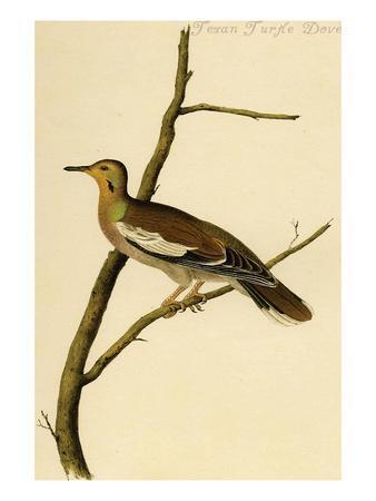 https://imgc.artprintimages.com/img/print/texan-turtle-dove_u-l-pgfw710.jpg?p=0