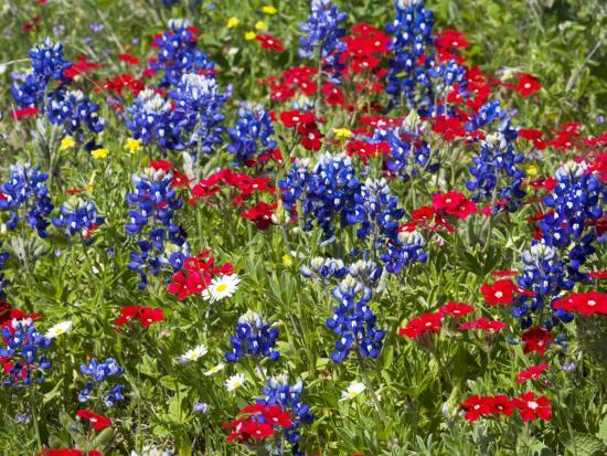 Texas Blue Bonnets and Red Phlox in Industry, Texas, USA-Darrell Gulin-Photographic Print