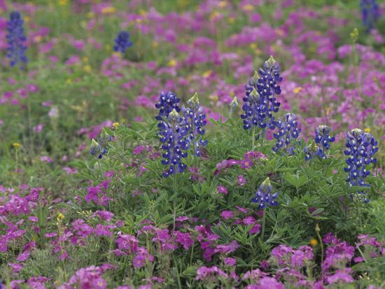 Texas Bluebonnet Flowers Among Phlox, Texas, USA-Adam Jones-Photographic Print