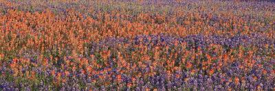 Texas Bluebonnets and Indian Paintbrushes in a Field, Texas, USA--Photographic Print
