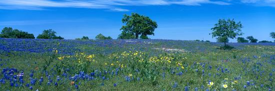 Texas Bluebonnets (Lupininus Texensis) Flowers in a Field, Texas Hill Country, Texas, USA--Photographic Print