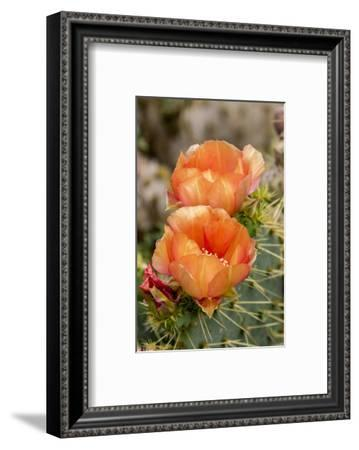Texas, Boca Chica. Prickly Pear Cactus in Bloom-Jaynes Gallery-Framed Photographic Print