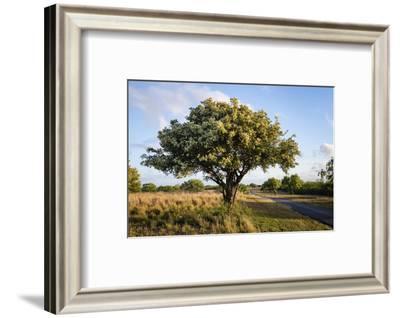 Texas ebony (Pithecellobium ebano) in bloom.-Larry Ditto-Framed Photographic Print