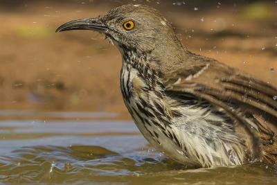 Texas, Hidalgo County. Curve-Billed Thrasher Bathing-Jaynes Gallery-Photographic Print