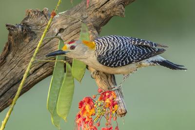 Texas, Hidalgo County. Golden-Fronted Woodpecker on Log-Jaynes Gallery-Photographic Print